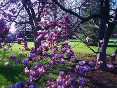 Magnolia Tree Gettysburg Pa Painting  - Magnolia Tree Gettysburg Pa Fine Art Print