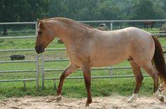 Red Dun Roan Quarter Horse - what a beauty! Funny Horses, Cute Horses, Pretty Horses, Beautiful Horses, Zebras, American Quarter Horse, Quarter Horses, Dun Horse, Barrel Racing Horses