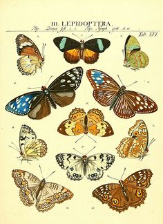 1 - Genera insectorum Linnaei et Fabricii iconibus illustrata / - Biodiversity Heritage Library Butterfly Illustration, Butterfly Drawing, Botanical Illustration, Vintage Butterfly, Vintage Flowers, Butterfly Images, Merian, Insect Art, Botanical Prints