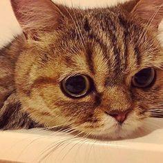 おはよーなっきぃ Part96 ルナ♀(1歳2ヶ月)  顔も目もまんまるだにゃ〜😸 . なっきぃルナちゃんの写真ありがとう🤗 #中島早貴 #なっきぃ #おはなっきぃ  #るなっきぃ #ルナ #luna #ミヌエット #マンチカン #ペルシャ #るなっきぃ #今日のルナ #ハロプロメンバー猫 #ハロメン猫  #ねこ #愛猫  #久しぶりにルナちゃん登場 #なっきぃルナちゃんの写真ありがとう  #雑画像じゃなくてルナちゃんちゃんと写っててうれしい #ルナちゃんの誕生日4月上旬説 #今日も1日頑張りましょう  #今日もなっきぃが幸せでありますように #goodmorning  #haveaniceday  #cat #kitten #nacky #sakinakajima