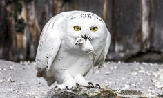 Photograph Snowy Owl by sekurit on Owl Bird, Pet Birds, List Of Animals, Cute Animals, Lechuza Tattoo, Owl Who, Vincent And Catherine, Funny Owls, Barred Owl