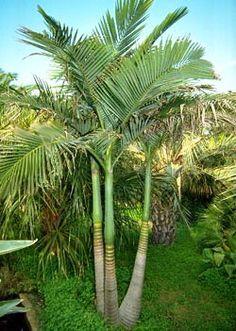 bangalow palm - Google Search