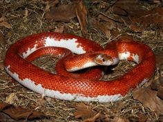 Another one of my favorite color morphs - pied sided bloodred corn snake