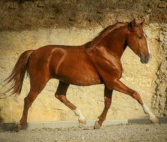 Young chestnut Lusitano stallion. photo: Rita Fernandez.