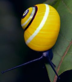 fauna painted snails - Google Search