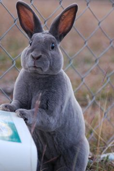 Rex rabbit - rabbit version of the Grumpy Cat?