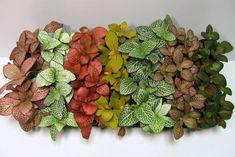 Fittonia albivenis / nerve plant