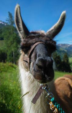 Une Rando-lama au coeur du Tyrol autrichien. Suivez le guide...