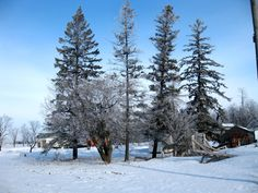 Pine trees in frosty morning