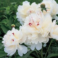 'Festiva Maxima' Herbaceous peony - One of the best for warmer coastal climates