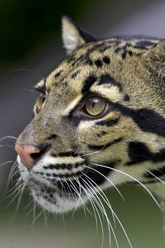 Meet a clouded leopard up close in our Backstage Pass program.