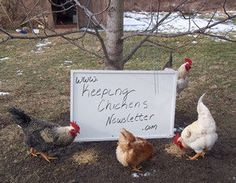 The keeping Chickens Newsletter is a free online magazine published twice a month with photos, tips and stories from subscribers all over the world. To subscribe just enter your name and email in one of the forms on the right of this page.