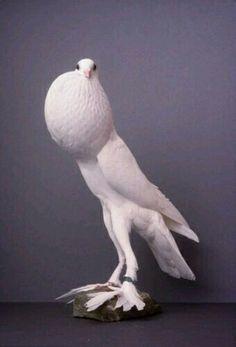 Pygmy Pouter Pigeon