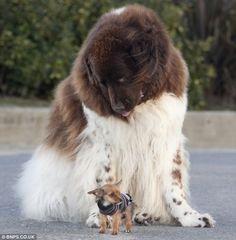 Big and Little. Newfoundland Dog and buddy.