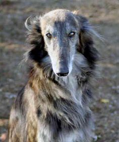 silken windhound photo | silken windhound puppies for sale the silken windhound puppies for ...