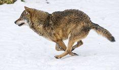 Wolf running fast