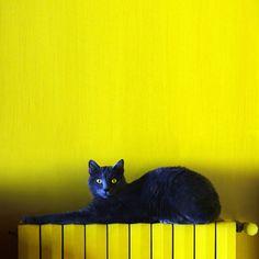 Cat yellow