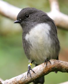 The Black Robin or Chatham Island Robin (Petroica traversi) is an endangered bird from the Chatham Islands off the east coast of New Zealand. Cute Birds, Small Birds, Pretty Birds, Little Birds, Colorful Birds, Beautiful Birds, Kinds Of Birds, Exotic Birds, Fauna