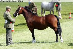 Welsh Pony of Cob Type (section C) - mare Donys Lili-Lon Welsh Pony, Cob, Country Of Origin, In A Heartbeat, Ponies, Beats, Mountain, Lily, Colours