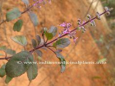Tulasi - Ocimum sanctum (O.Tenuiflorum)