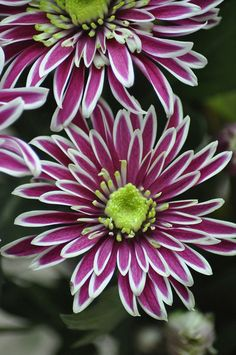 'Spiky' .. Spray Mums .. often seen in the floral industry...so pretty
