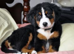 My Bella, 10 weeks, Bernese Mountain Dog