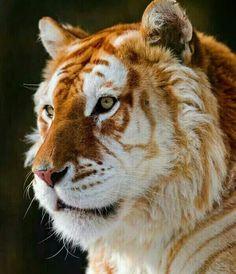Golden Tiger.Wild beautiful.