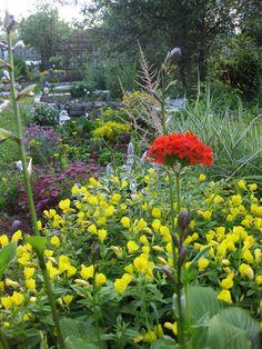 цветет энотера ...июнь