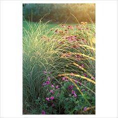 miscanthus morning light & geranium patricia