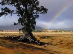 Picture of river red gum tree and rainbow in Wilpena Pound National Park, South Australia