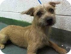 Calverton, NY Silky Terrier/Cairn Terrier Mix. Meet