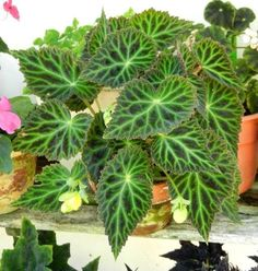 Begonia pearcei, aus der International Database of Begoniaceae - Blumen Garten Tropical Garden, House Plants, Flowers Perennials, Plants, Perennial Flowering Plants, Shade Plants Container, Foliage Plants, Palm Plant, Begonia