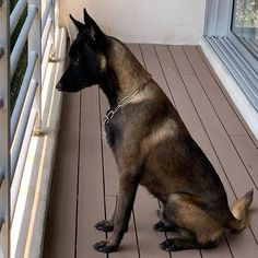Cute Cats And Dogs, Cute Dogs And Puppies, Pet Dogs, Doggies, Belgian Malinois Dog, Belgian Malinois Training, Dog Poems, Animal Reiki, Working Dogs