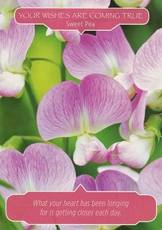 """Card of the Day: Sweet Pea ~ Your Wishes Are Coming True """"What your heart has been longing for is getting closer each day.""""  This card is a message from the Angels and the Fairies affirming that your prayers have been heard and answered and that your sincere heart wishes are coming closer and closer every day.... #cardoftheday #flowertherapy #oraclecards #doreenvirtue #robertreeves #manifestation #cocreation #wishes #dreams #comingtrue"""