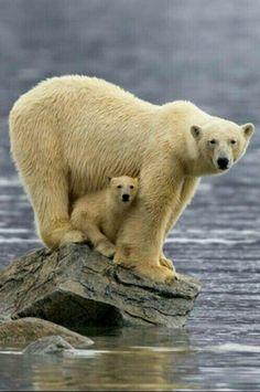 Momma Polar Bear with her cub.