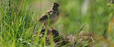 Skylark at the grassy edge of a small field