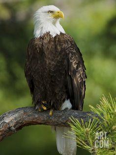 Bald Eagle Perching in a Pine Tree, Flathead Lake, Montana, Usa Photographic Print by Rebecca Jackrel at Art.com
