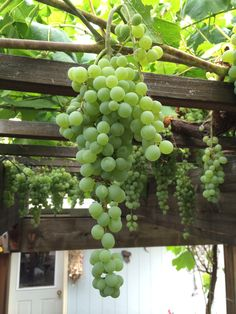 I give tips for growing and pruning table grapes in the home garden. I have two Himrod table grapes on a pergola that give us summer shade and fresh grapes.