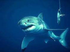Resultado de imagem para fotos de tubaroes