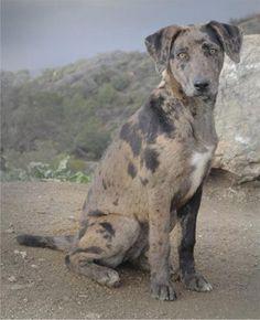 Catahoula Leopard Dog - Breed