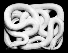 Most people fear snakes and don't want to even look at them. Still they are fascinating reptiles in different colors and lengths. The photographer Guido Beaux Serpents, Anaconda Snake, Snake Wallpaper, Wallpaper Ideas, Snake Photos, Colorful Snakes, Yellow Snake, Beautiful Snakes, Reptiles And Amphibians