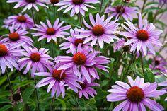 Echinacea-LB0907_4200.jpg | GreenFuse Photos: Garden, farm & food ...