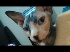 Cat Sphynx Betty - YouTube