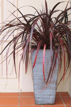 https://flic.kr/p/9crmwJ | Festival Burgundy cordyline, ribbed pot, indoors | Festival Burgundy cordyline isn't just a drought-tolerant, architectural plant in the garden outdoors - it's also a low-maintenance, colorful houseplant indoors in the winter. For more container gardening ideas go to www.YourEasyGarden.com