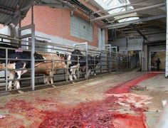 vegetarisme-abbatoir-sang-vegetarien-animaux