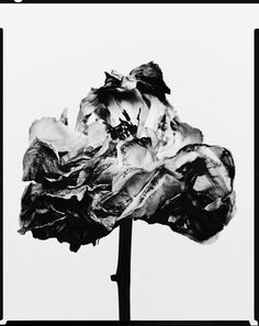 Symmetrical Balance Billy Kidd: Decaying flower was shot by Billy Kidd. Billy Kidd, Growth And Decay, Supernatural Dean, High Art, Natural Forms, Flower Photos, Black And White Photography, Black N White, Flower Power