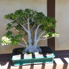 Bonsai tree from Japanese friendship garden in San Diego
