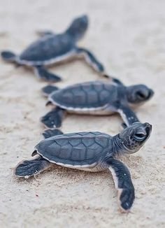 baby sea turtles / by Christian Miller baby turtles are my favourite :)) Marinha Wallpaper, Cute Baby Animals, Animals And Pets, Animals Photos, Pet Photos, Nature Animals, Beautiful Creatures, Animals Beautiful, Beautiful Fish