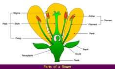 Parts of a Flower - Let's learn about parts of a flower. This lesson teaches you the all parts of a flower along with reproduction in flowering plants.