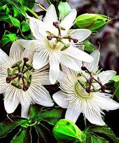 Passiebloem klimmer, volle zon, zomerbloeier tot oktober, winterhard & semi-wintergroen
